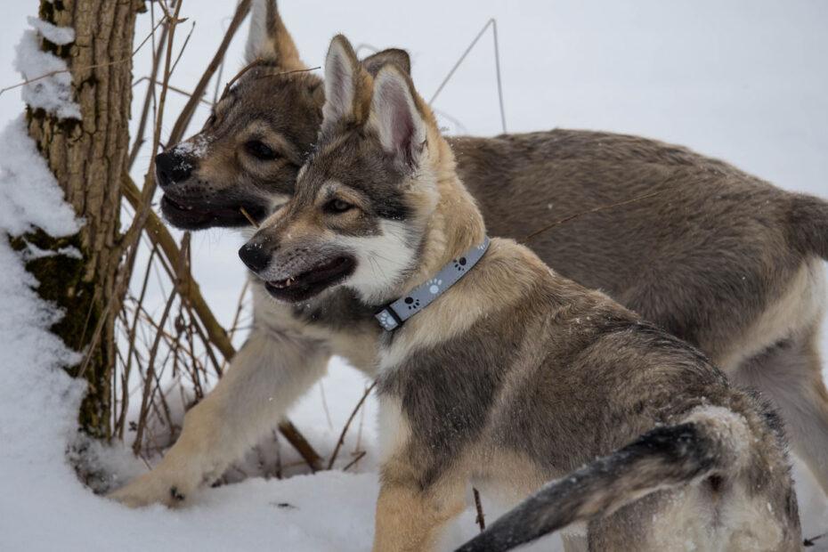 Sozialisierung bei Hunden Welpe